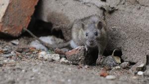 Szczury plagą XXI wieku? Czy taki diabeł straszny?